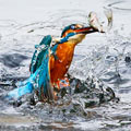 摄影师抓拍翠鸟捕食小鱼瞬间