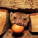 摄影师午夜抓拍石貂偷鸡蛋