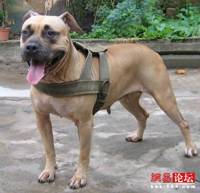 比特犬也称美国比特犬,比特斗牛犬.产于19世纪的美国.比特犬的原