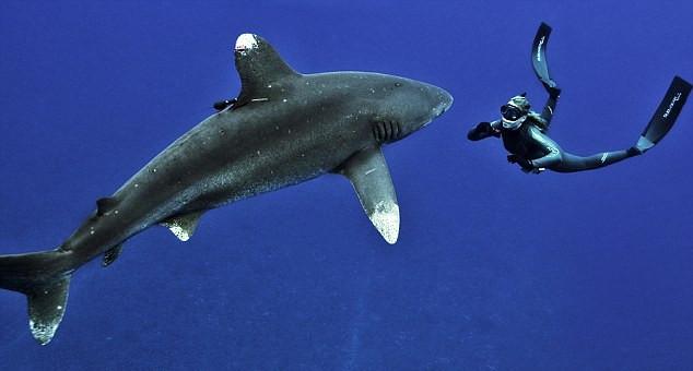 美女子深海与鲨共舞呼吁保护动物_图片_环球网