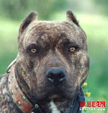 最凶猛的狗_世界上最凶猛的狗排名,比特犬数分钟咬死藏獒 视频 探秘志