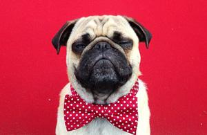 动物肖像:一只斗牛犬的自拍日记