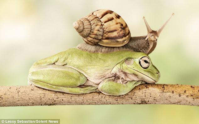 大胆蜗牛遇午休青蛙 花9分钟从其背上爬过