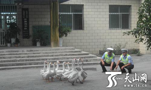 新疆沙湾公安局养鹅防范入侵(图)