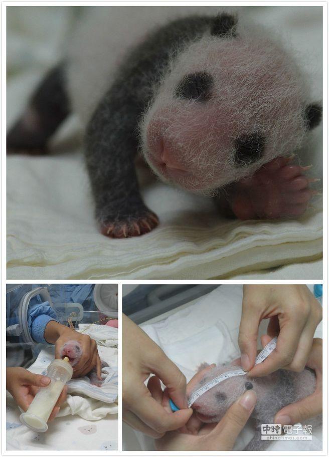 熊猫宝圆仔(图片来自台媒) 中国台湾网8月2日消息 据台湾《中国时报》报道,可爱的熊猫宝宝出生快1个月了。为庆祝圆仔将满月,台北市动物园于周日(4日),为圆仔举办满月生日Party,同时送你好名大熊猫宝宝命名活动正式开跑。 圆仔7月6日出生,在大家细心呵护照料下,平安度过生命中的第一个月。为庆祝台湾第一只大熊猫宝宝诞生,动物园邀请民众一起欢度圆仔满月Party,同时也为动物园今年的新生动物宝宝,包括白犀牛犀奇、长鼻浣熊宝宝、白手长臂猿宝宝比德潘联合欢庆会。 圆仔满月趴有现场教育游戏闯关活动