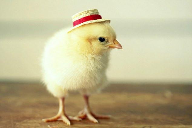 帽子 造型 小鸡/美小鸡戴时髦帽子拍萌照受热捧(1/8)