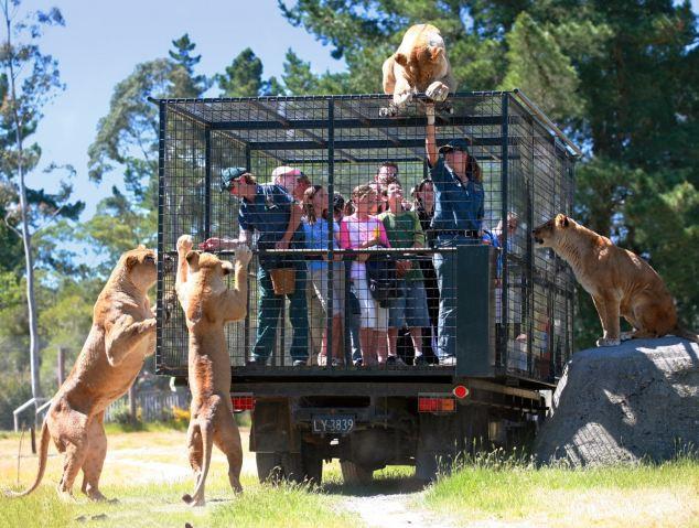 """新西兰动物园狮子笼外""""赏""""游客"""