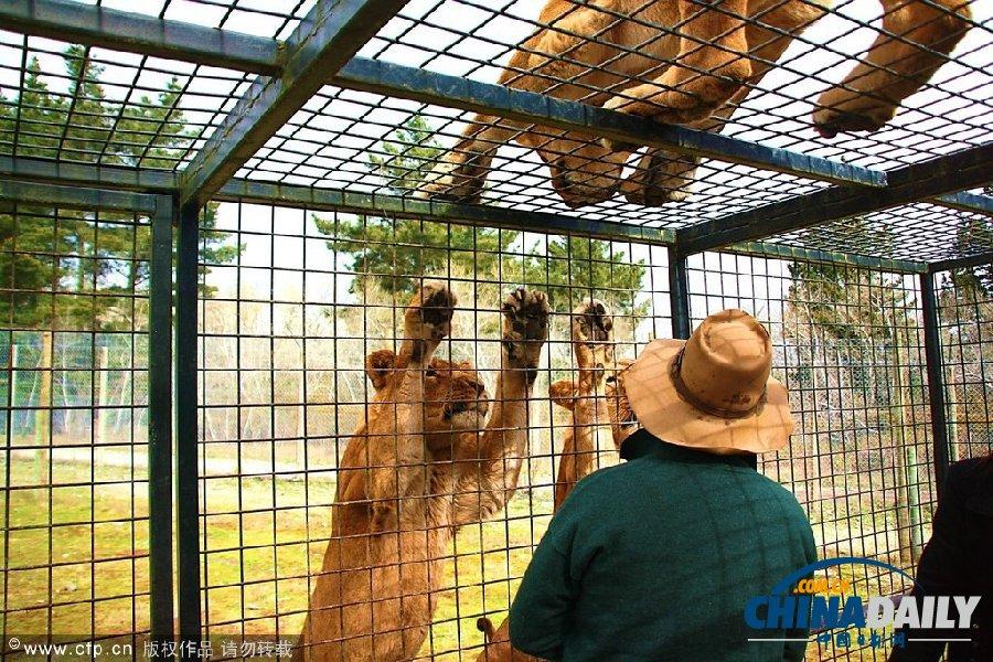 新西兰动物园把游客关进笼子让狮群好奇围观(组图)