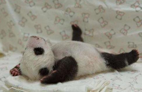 """可爱的大熊猫宝宝""""圆仔""""红翻天.(图片来自网络)"""