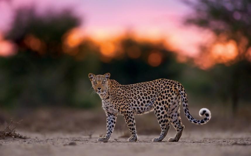 【环球网综合报道】提到南非,或许我们能想到的就是美女、野性、动物,英国《每日电讯报》近日就刊登了一组野性十足的照片。照片是由野生动物摄影师Hannes Lochner在南非境内的卡拉哈里沙漠拍摄的猎豹家族的生活,Hannes Lochner行驶了10万公里捕捉到这些令人惊叹的照片,除了猎豹,Hannes Lochner还拍摄了狮子、斑鬣狗等其他动物。