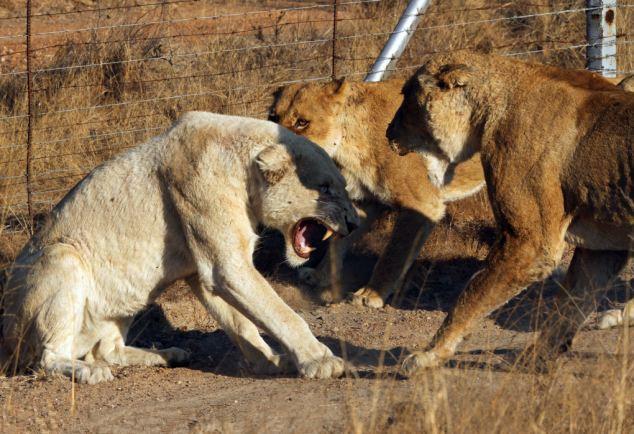 南非白狮子遭母狮围攻险丧命