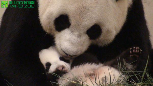 壁纸 大熊猫 动物 600_338