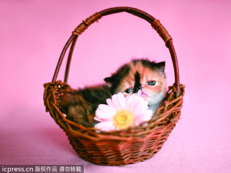可爱 日本 明星 最萌/日本最可爱小猫超萌眼神治愈心灵(3/12)