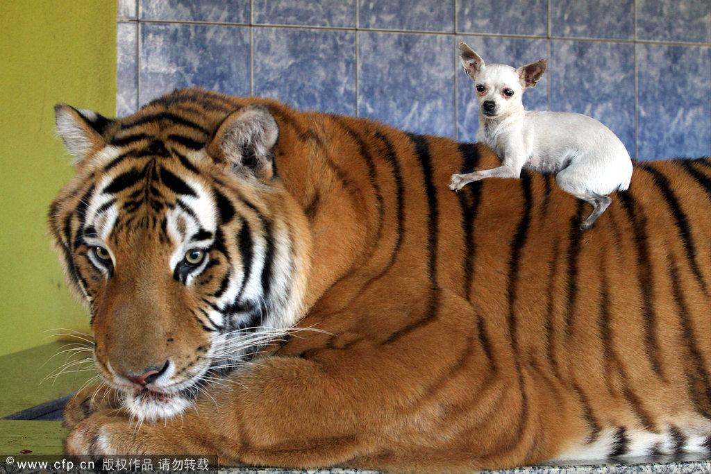 壁纸 动物 虎 老虎 桌面