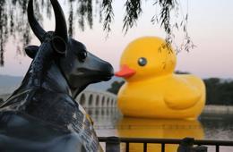 大黄鸭颐和园首秀 与铜牛借位接吻相映成趣