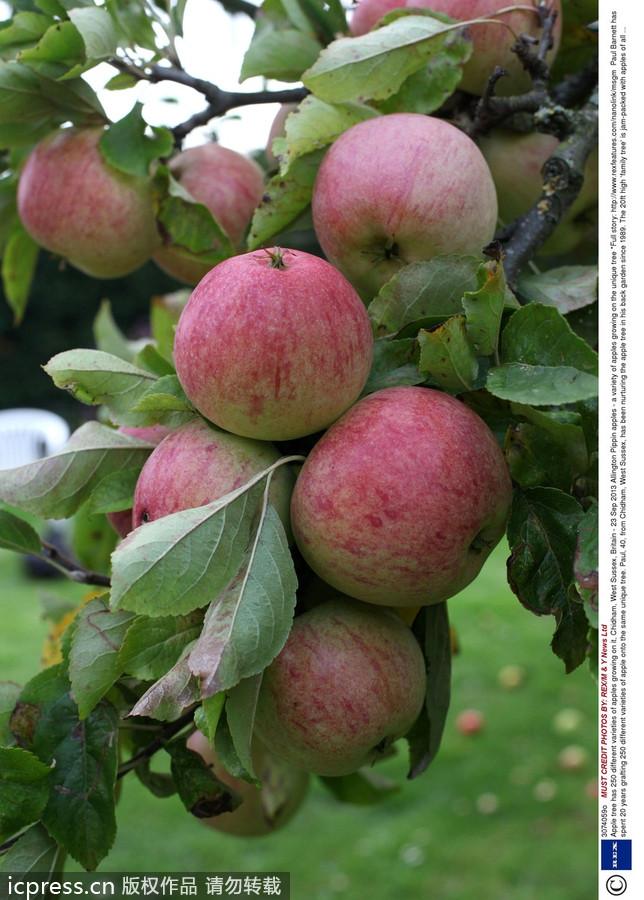 英国一棵果树结出250个不汀》种苹果