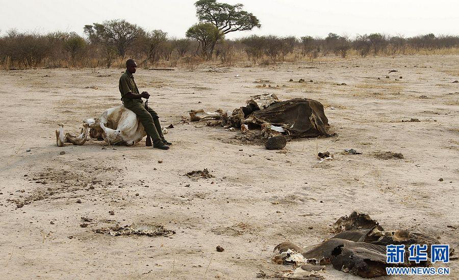 津巴布韦近百只野生大象遭盗猎者毒杀