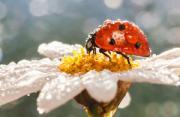 昆虫摄影:瓢虫先生的假期