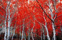 深红色的完美俄罗斯秋景