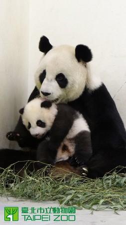添肛门�_赠台熊猫幼崽体重破7000克 母亲舔肛门刺激排便