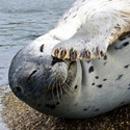 最萌海豹发现被拍捂嘴偷笑