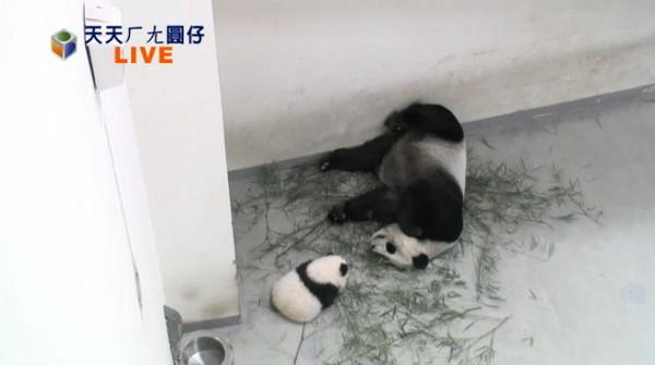 """台北市立动物园直播熊猫""""圆仔""""画面"""