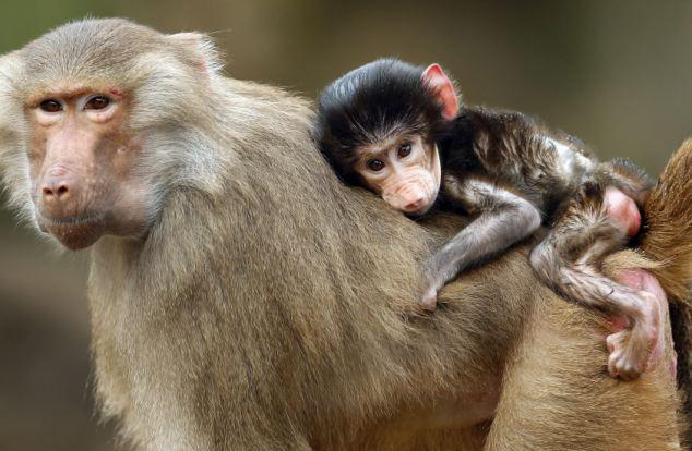 德动物园喜迎4只小狒狒 紧抱母亲萌相可人