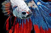 动物摄影:斗鱼