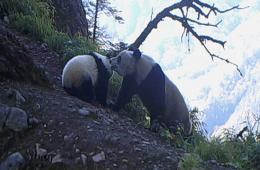 红外相机拍摄野生大熊猫母子:妈妈叼走贪玩宝宝
