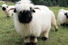 瑞士黑鼻羊憨态可掬让人忍不住想抱一抱