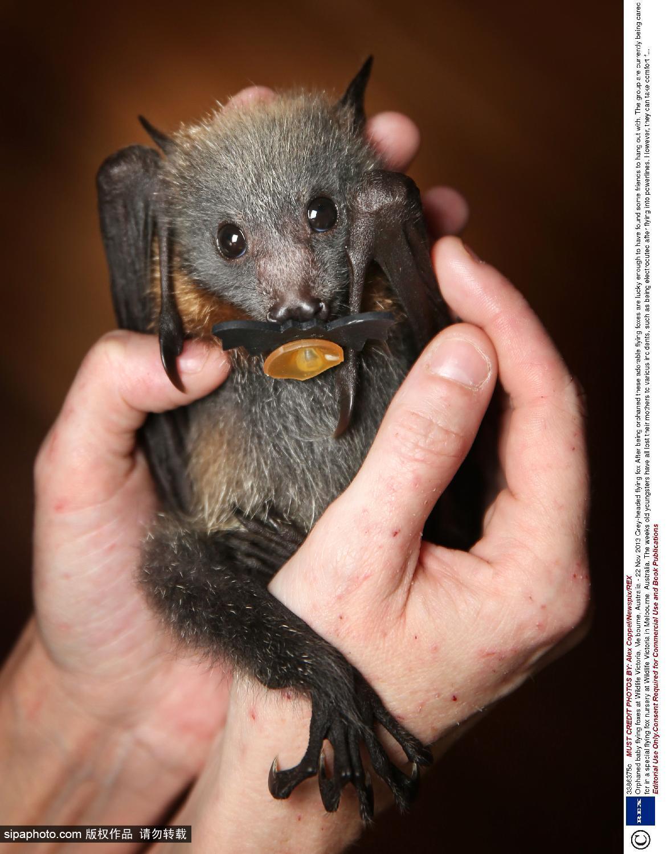 组图:澳洲维多利亚野生动物园 蝙蝠宝宝萌态十足