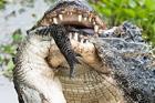 惊心动魄!短吻鳄被巨鳄拦腰咬成两截