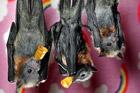 澳洲维多利亚野生动物园 蝙蝠宝宝萌态十足