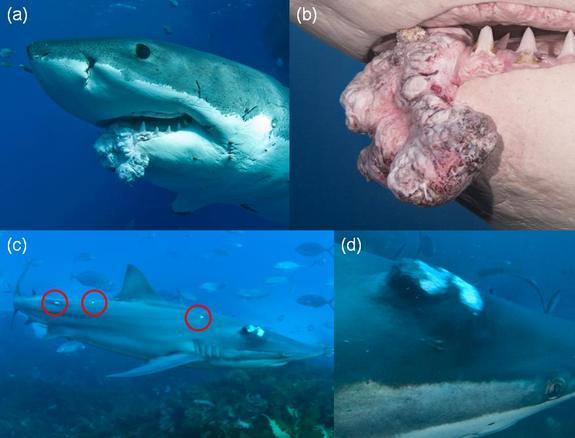 """长了肿瘤的鲨鱼   【环球网综合报道】据美国趣味科学网站""""livescience.com""""12月3日报道,近日,澳大利亚研究人员在一头大白鲨体内发现了一大块肿瘤。据悉,该肿块长宽各1英尺(约30公分)。   至今,科学家们已在至少23种鲨鱼体内发现了肿瘤,这些发现进一步证实了鲨鱼也会患癌症这一论断,推翻了公众认为这类动物无癌症之忧的错误判断。   根据2004年《癌症研究》期刊上的一篇评论,由于误信鲨鱼不会得癌症,许多病人不再接受有效治疗,而转向鲨鱼软骨、鲨鱼鱼翅汤等鲨鱼制品,从"""