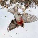 摄影师自制喂食平台创意拍鸟