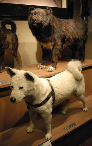 社会资讯_东京涉谷博物馆举办忠犬八公诞辰90周年纪念展_国际新闻_环球网