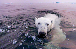 动物摄影:水中北极熊