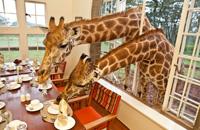 和长颈鹿先生的早餐