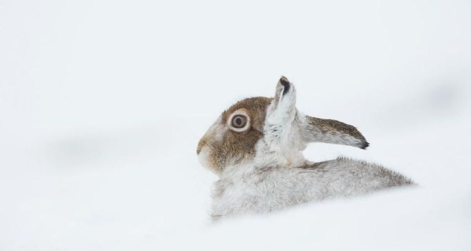 雪地里的小兔子,洁白无暇.图片