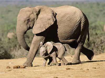 社会资讯_坦桑尼亚终止打击盗猎行动 被杀大象猛增_公益_环球网