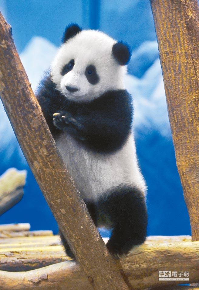 全球资讯_圆仔6日在台湾见客 熊猫馆堪称全球最豪华_台海_环球网