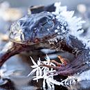 摄影师拍青蛙冰湖上被冻僵