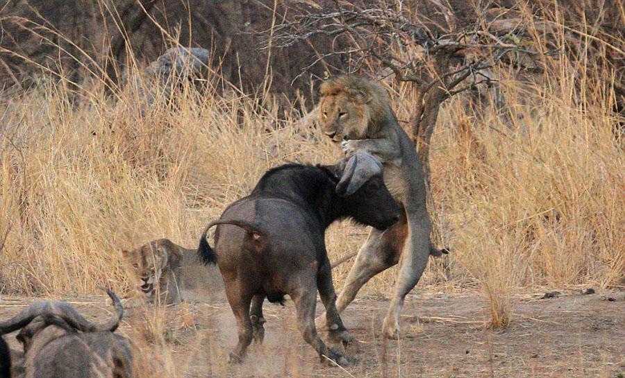 赞比亚雄狮交配中被水牛顶飞 雌狮冷眼旁观