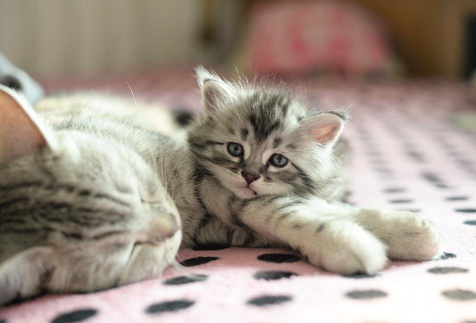 壁纸 动物 猫 猫咪 小猫 桌面 950_645