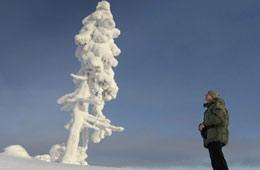 瑞典发现世界最古老树木 9500岁还在继续生长