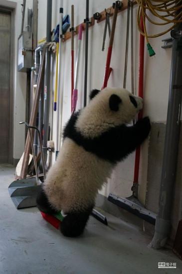 """赠台大熊猫宝宝""""圆仔""""成台北市民欢乐元素"""