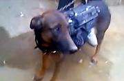 塔利班俘虏美军军犬发视频炫耀