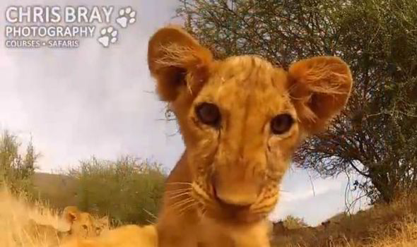 """【环球网综合报道】摄像师能拥有好的作品,除了其知识、修养的养成,有时还与其运气相关。近日,澳大利亚一名摄影师便遇到好运,在肯尼亚桑布鲁国家自然保护区拍到了可爱的小狮子。据英国《快报》2月11日报道,当摄影师发现有小狮子靠近相机时,他几乎不敢相信自己能有如此好运。   据悉,当日,布雷带着几天前在超市买的玩具车,将照相机安装在玩具车上,远程遥控玩具车,在桑布鲁保护区取景。突然他发现一对狮子朝玩具车走近,并在相机前玩耍,丝毫不畏惧。布雷说道:""""当这两只幼崽走近相机时,我简直不敢相信自己的眼睛,迫不"""