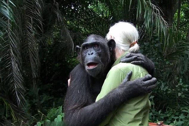 """【环球网综合报道】珍•古道尔是英国著名的野生动物学家,其长期致力于黑猩猩的野外研究。近日,珍与一只名叫""""伍德""""(Wounda)的黑猩猩上演了温馨一幕。据英国《每日邮报》2月12日报道,刚果共和国的这只黑猩猩在珍所创办的黑猩猩康复中心接受了的精心治疗和照顾,痊愈后的它被送到更适合其生存的小岛生活。而在到达新家后,这只黑猩猩紧紧地拥抱着珍,似乎是为了表示感谢与不舍。   伍德最初被收养的时候,疾病缠身,拯救伍德堪称是在与时间赛跑。伍德每天早上要喝一公升牛奶,康复中心里的工"""