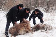 新疆生产建设兵团遭到野狼袭击
